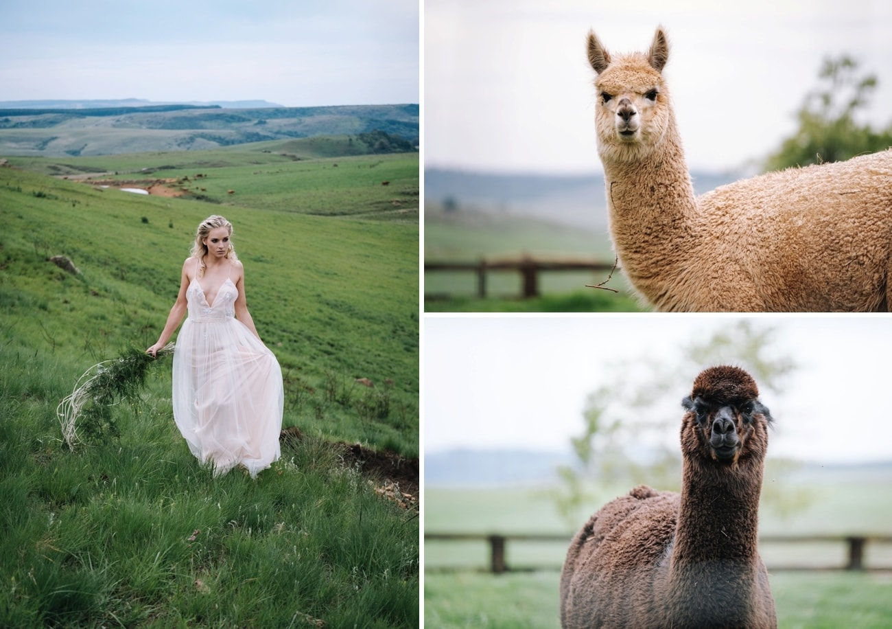 Wedding Alpacas | Atmospheric Wedding Inspiration | Credit: The Shank Tank